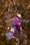 Droogmansia pteropus