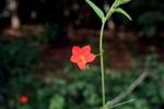 Hibiscus migeodii