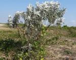Sophora inhambanensis