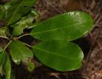 Baphia macrocalyx
