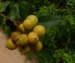 Uvaria acuminata