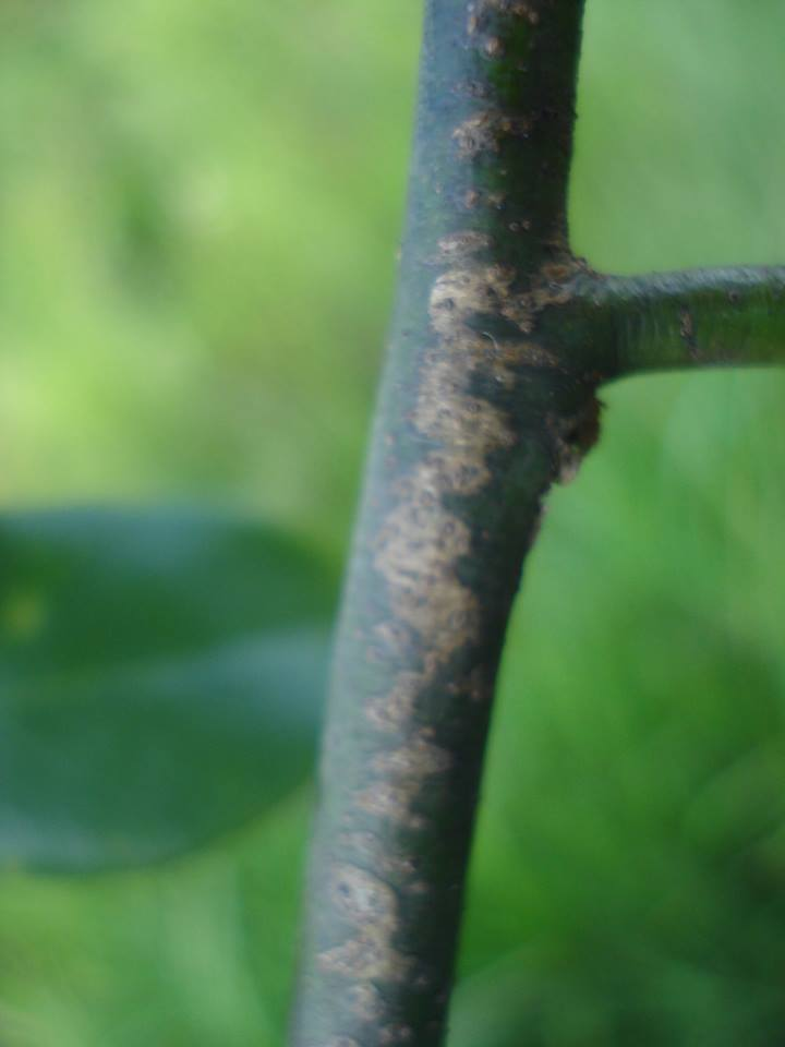 Sphaerocoryne gracilis subsp. gracilis