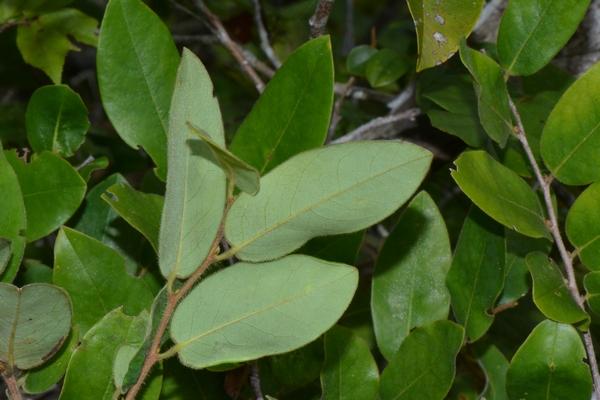 Xylopia collina