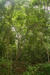 Monodora stenopetala