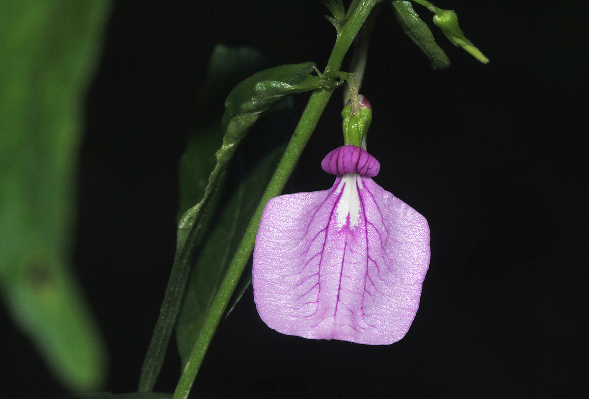 Afrohybanthus latifolius