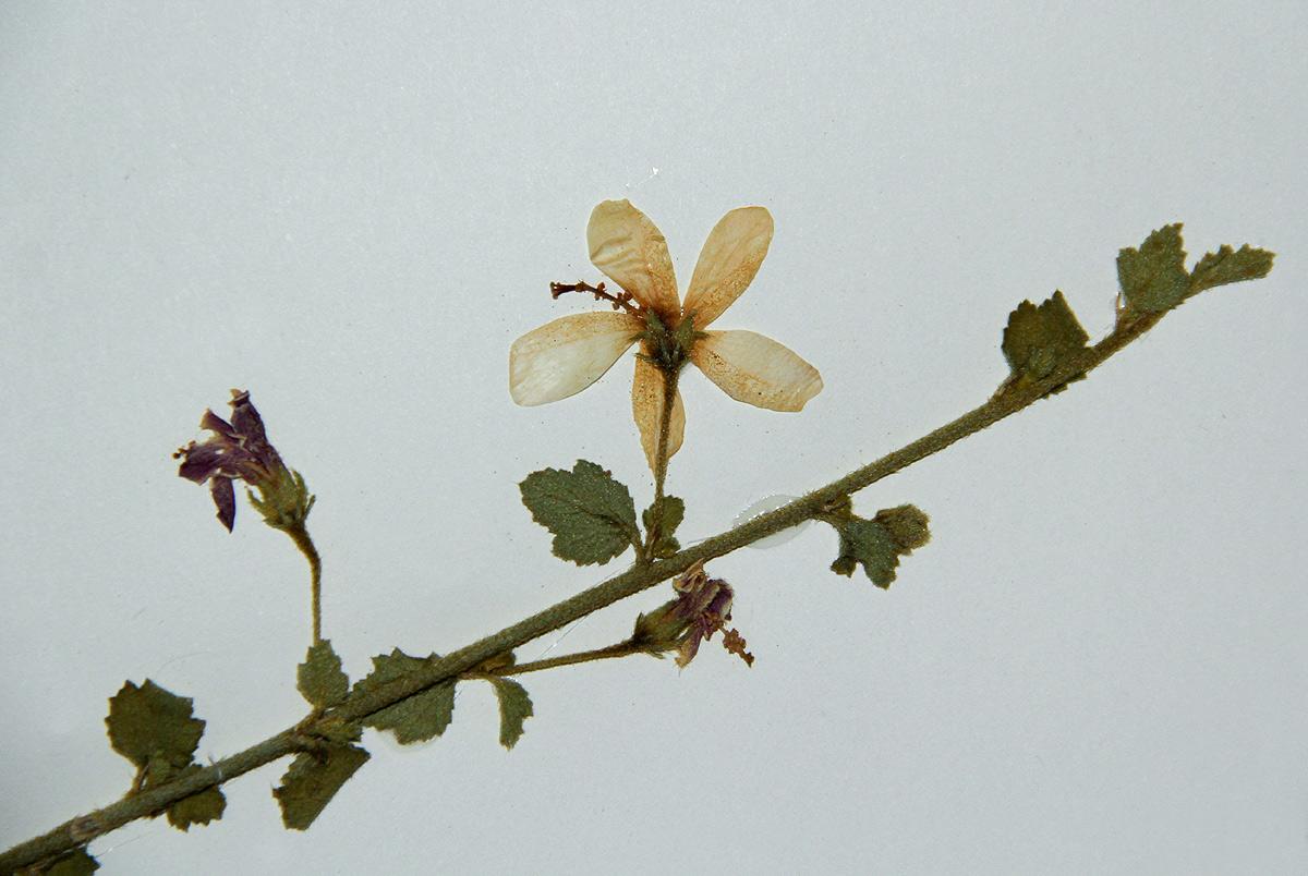 Hibiscus meyeri subsp. meyeri