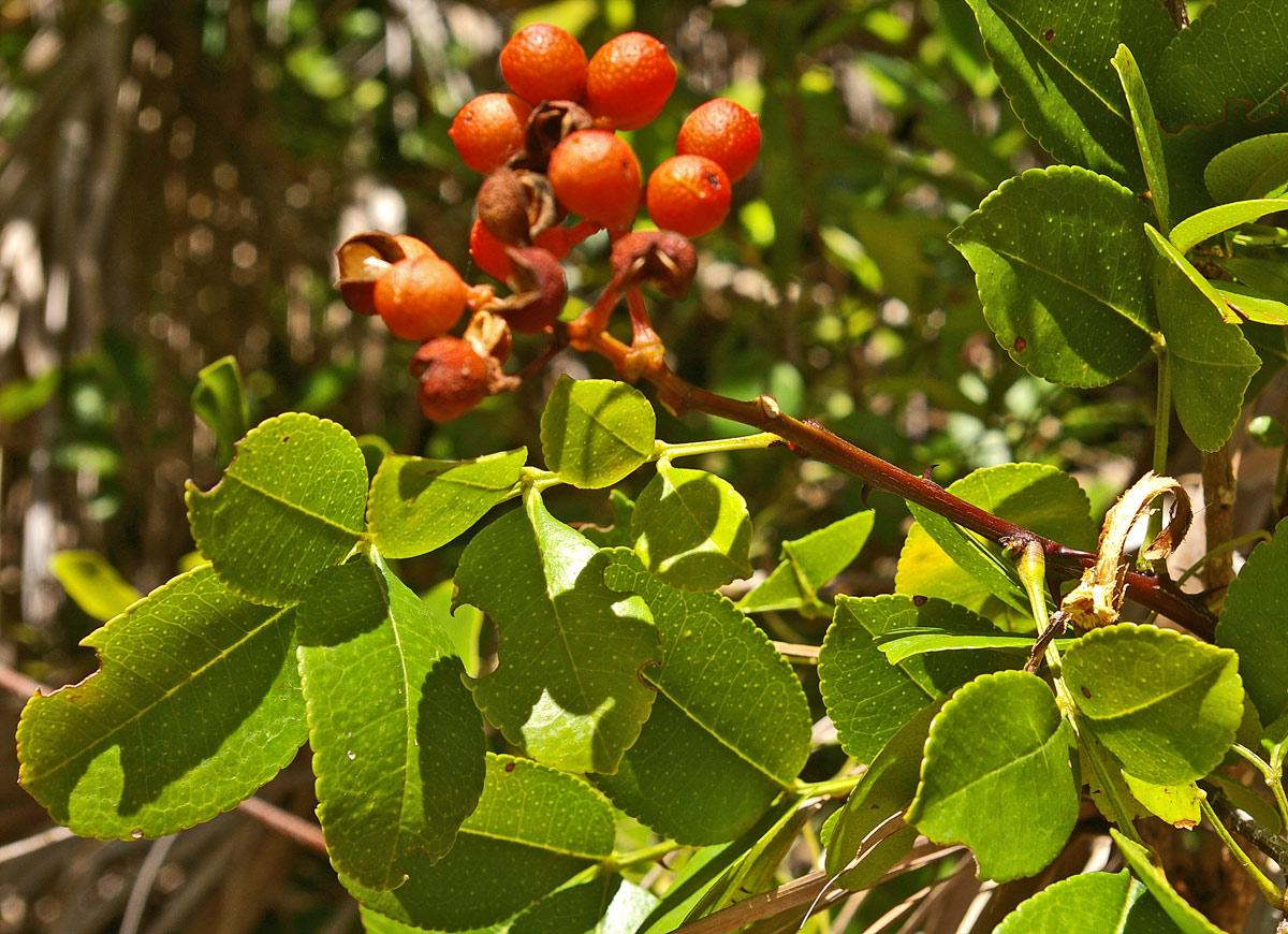 Zanthoxylum delagoense