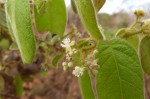 Dichapetalum mossambicense