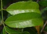 Salacia elegans
