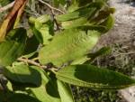 Ziziphus pubescens subsp. glabra