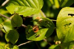 Gouania scandens