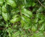 Combretum illairii