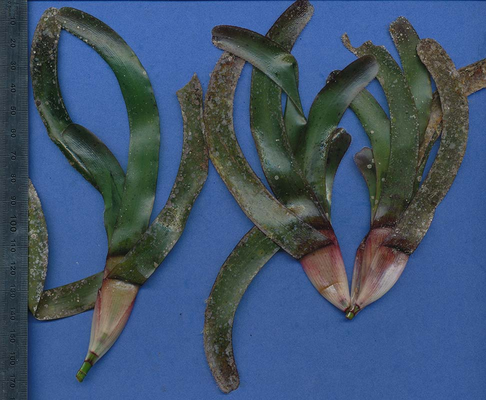 Thalassodendron ciliatum