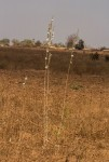 Chlorophytum stolzii