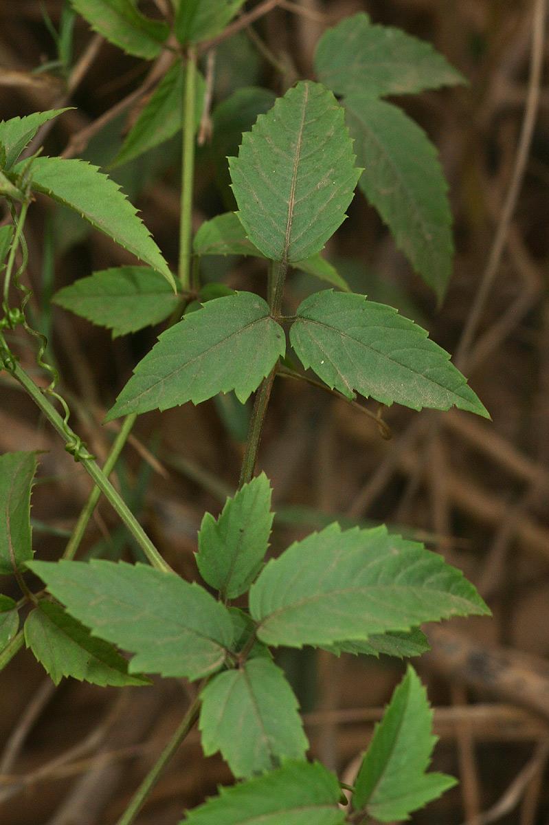 Cayratia ibuensis