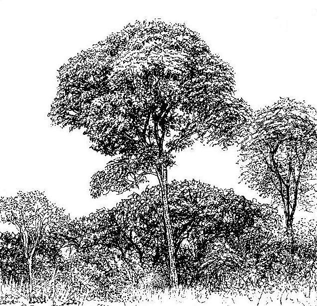 Brachystegia longifolia