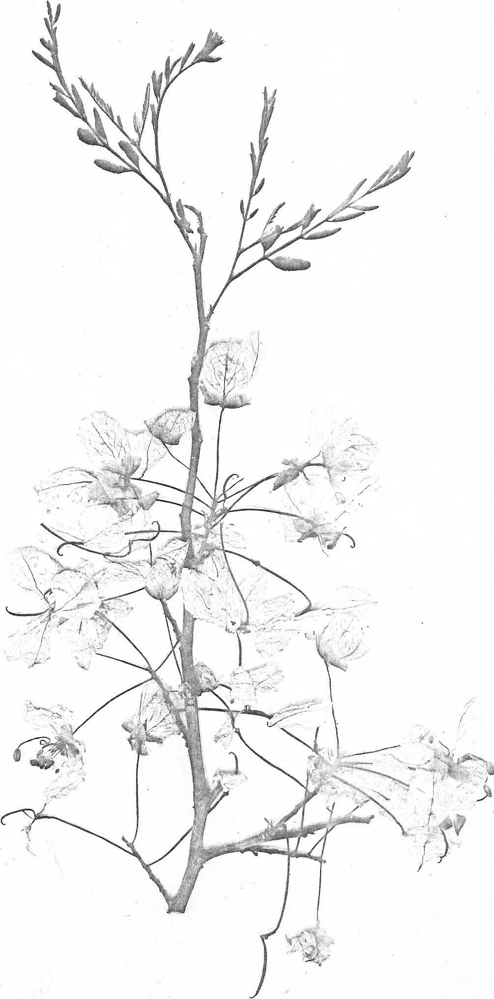 Cassia angolensis