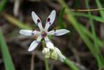 Wurmbea tenuis subsp. goetzei