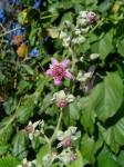 Rubus rigidus