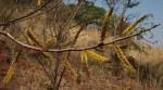 Elephantorrhiza goetzei