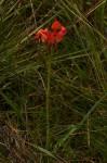Disa erubescens subsp. carsonii