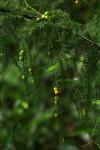 Asparagus petersianus
