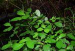 Peperomia retusa