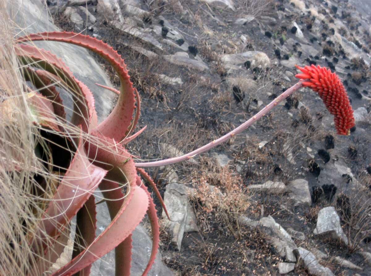 Aloe decurva