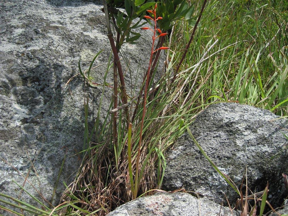 Aloe cannellii