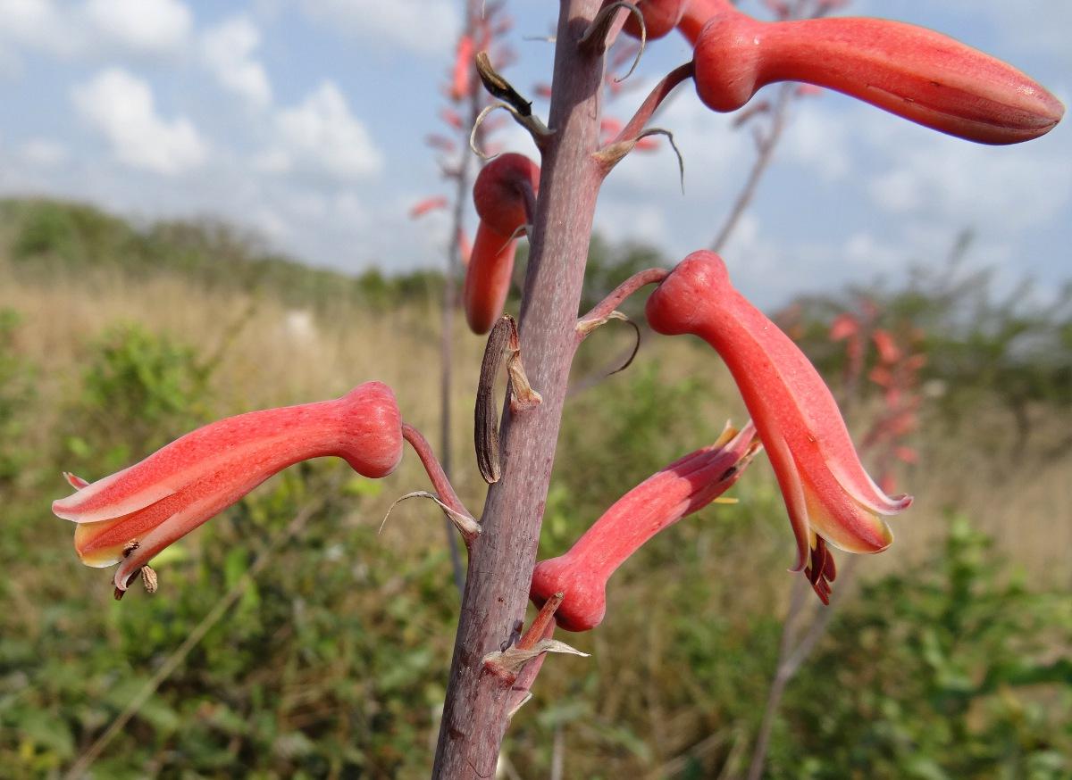 Aloe parvibracteata