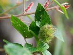 Acalypha welwitschiana