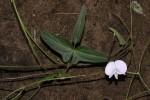 Vigna unguiculata