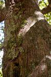 Hirtella zanzibarica