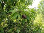 Croton inhambanensis