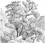 Tecomaria capensis subsp. capensis