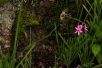 Freesia laxa subsp. laxa