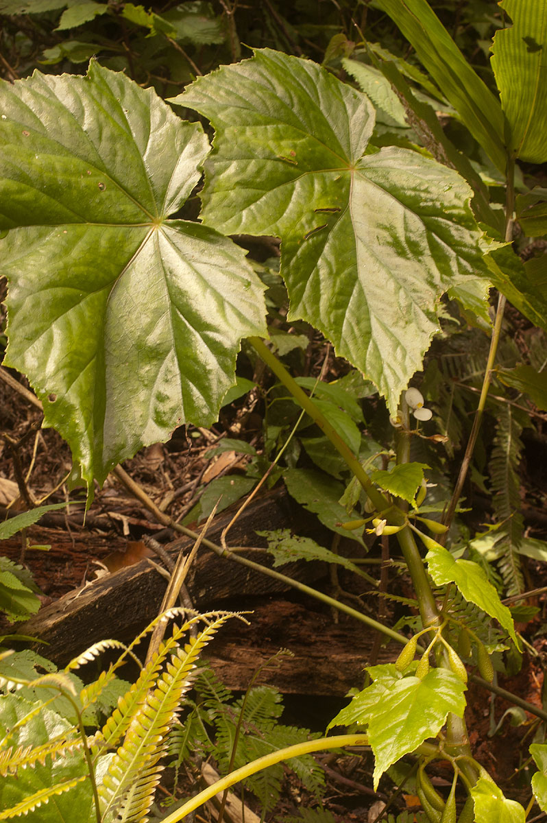 Begonia oxyloba
