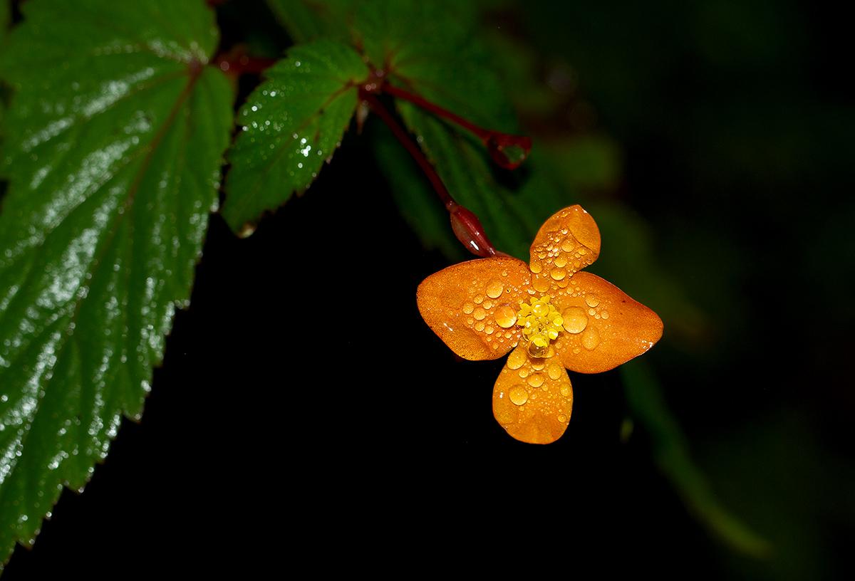 Begonia sutherlandii subsp. sutherlandii