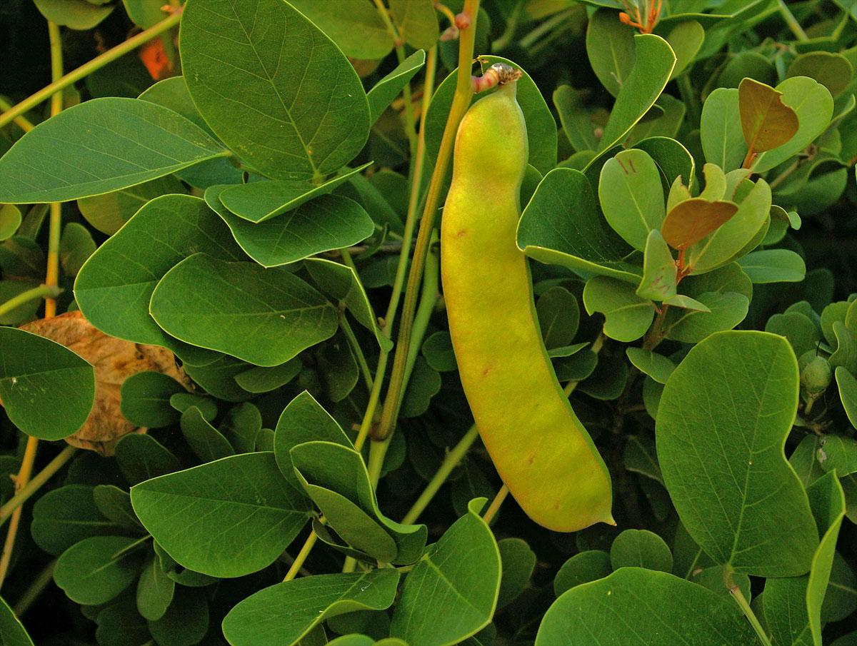 Canavalia rosea