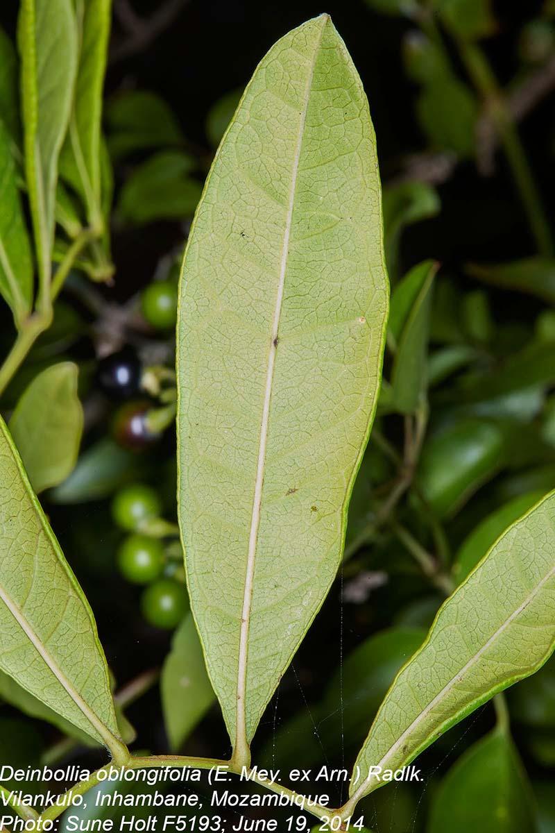 Deinbollia oblongifolia