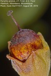 Pemphis acidula
