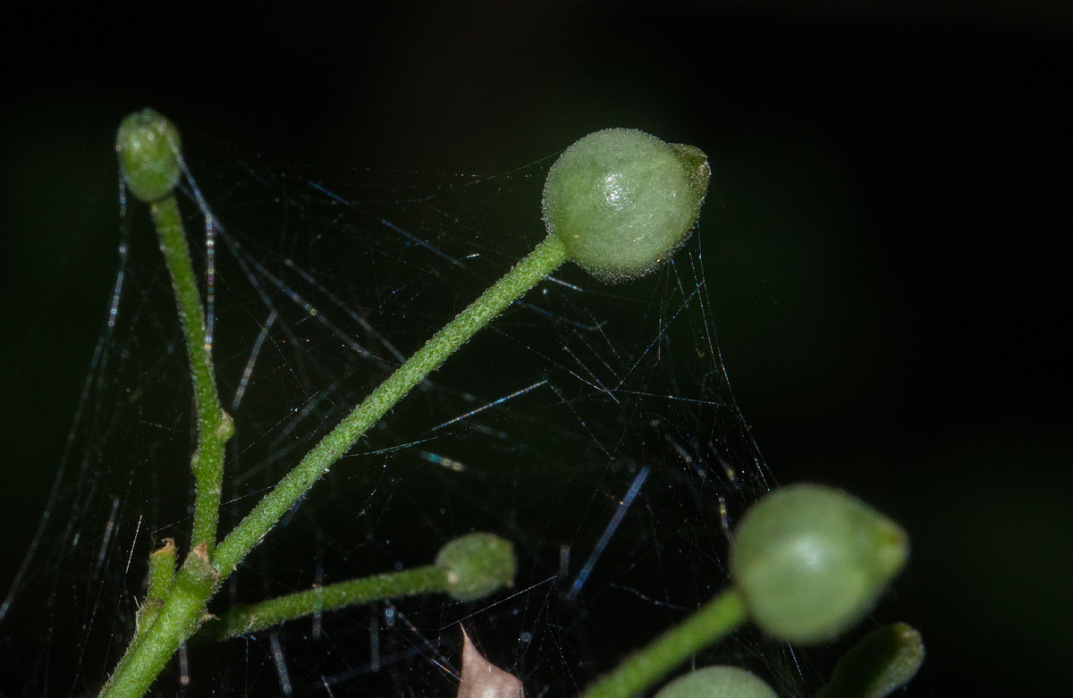 Tarenna longipedicellata