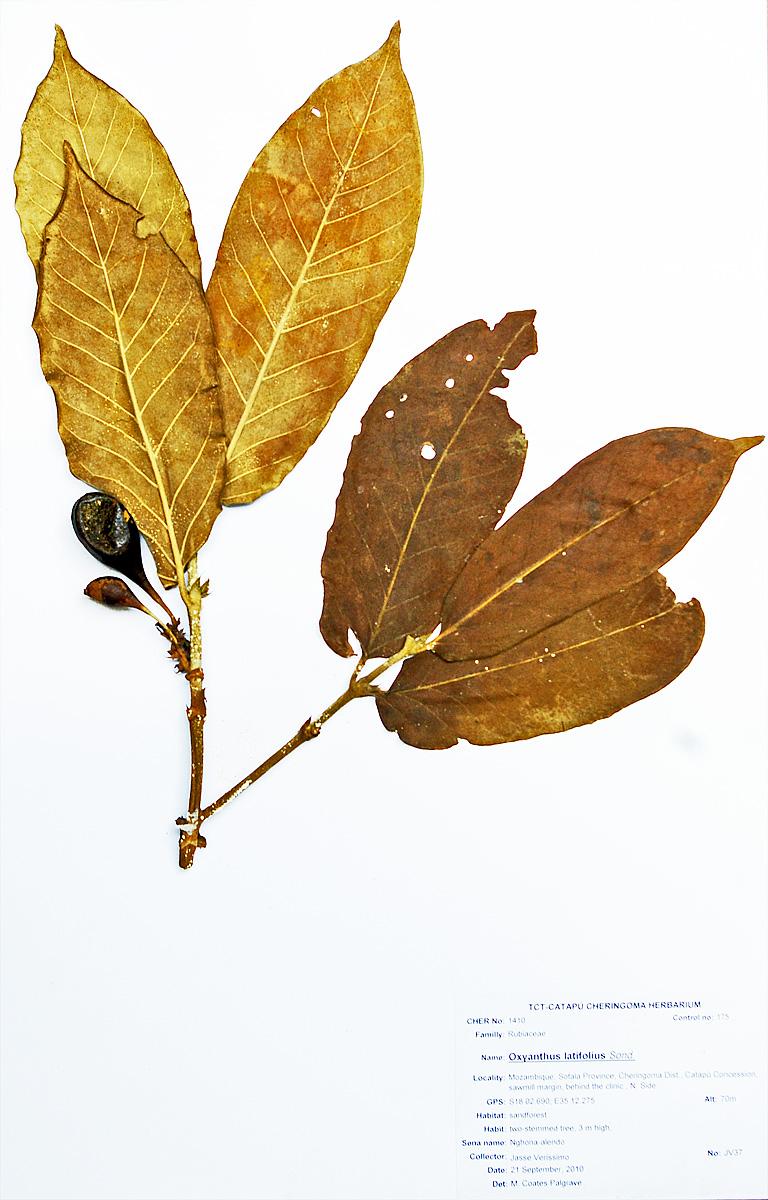Oxyanthus latifolius