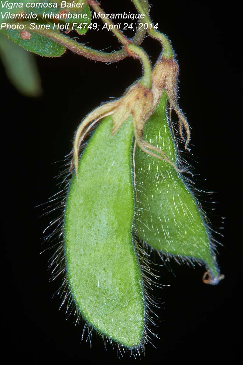 Vigna comosa subsp. comosa