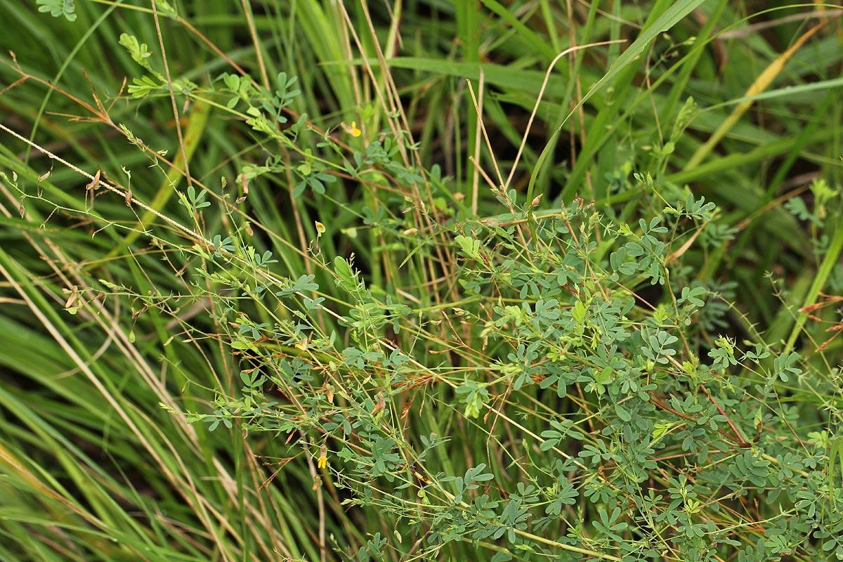 Aeschynomene mossambicensis subsp. mossambicensis