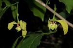 Monodora junodii var. macrantha