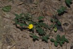 Crotalaria goodiiformis