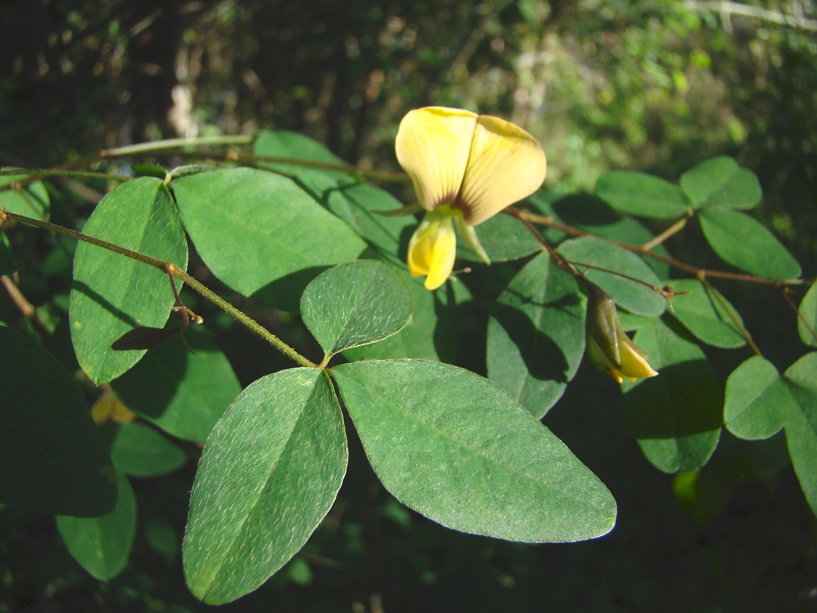 Crotalaria goetzei