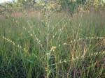 Crotalaria ringoetii