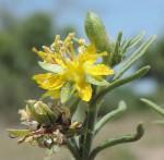 Vahlia capensis subsp. vulgaris var. longifolia